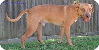 Rhodesian Ridgeback/Labrador Retriever Mix Dog for adoption in Cat Spring, Texas - Ike