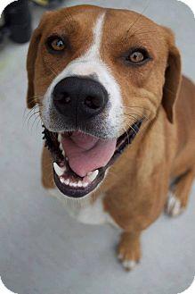 Hound (Unknown Type)/Labrador Retriever Mix Dog for adoption in Prince George, Virginia - Arnold