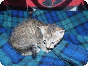 Domestic Shorthair Kitten for adoption in Clarksville, Arkansas - Toby
