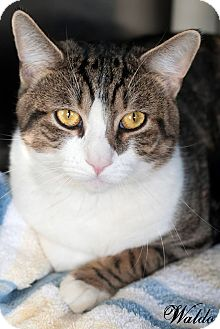 Domestic Shorthair Cat for adoption in Manahawkin, New Jersey - Waldo
