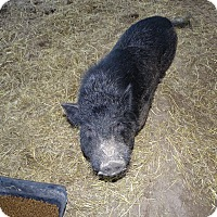 Pig (Potbellied) for adoption in Brooksville, Florida - BACKWOODS