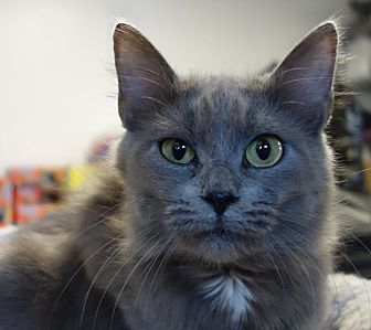 Domestic Longhair Cat for adoption in Greenfield, Indiana - Queenie