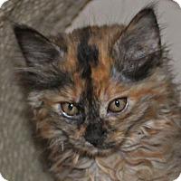 Persian Kitten for adoption in Walnut Creek, California - Windy