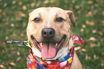 Shepherd (Unknown Type)/Labrador Retriever Mix Dog for adoption in Homer, New York - Havoc