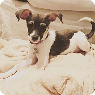 Miniature Pinscher Mix Puppy for adoption in Seattle, Washington - Bonnie