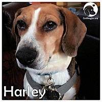 Adopt A Pet :: Harley - Chicago, IL