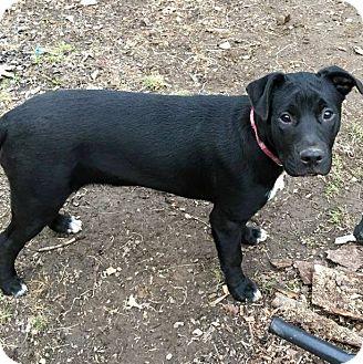 Pit Bull Terrier/Labrador Retriever Mix Puppy for adoption in Staunton, Virginia - Lace