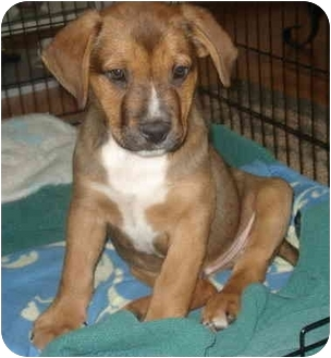American Pit Bull Terrier/Shepherd (Unknown Type) Mix Puppy for