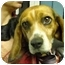 Photo 4 - Beagle Dog for adoption in Blairstown, New Jersey - Lizzie