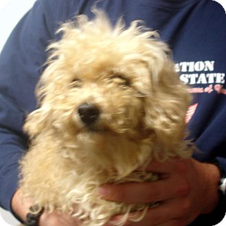 Toy Poodle Dog for adoption in baltimore, Maryland - cocomo