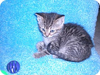 "Domestic Shorthair Kitten for adoption in New Castle, Pennsylvania - "" Cricket """