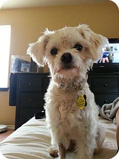 Maltese/Poodle (Miniature) Mix Dog for adoption in Austin, Texas - Fran