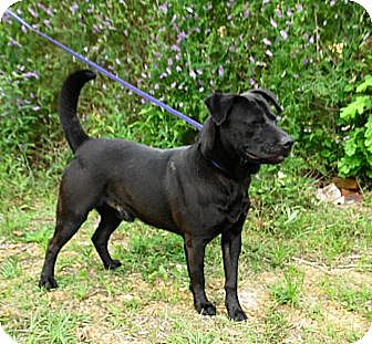 Labrador Retriever Mix Dog for adoption in Jackson, Mississippi - Fisher