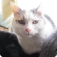 Domestic Shorthair Cat for adoption in Maywood, Illinois - Nikki