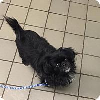 Adopt A Pet :: Happy Joy - Portland, ME