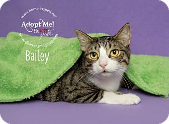 Domestic Shorthair Cat for adoption in Houston, Texas - Bailey