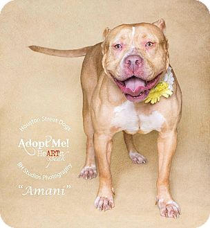 Pit Bull Terrier Mix Dog for adoption in Houston, Texas - Amani