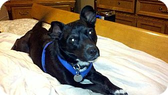 Jack Russell Terrier/Chihuahua Mix Dog for adoption in Rockville, Maryland - Chevy