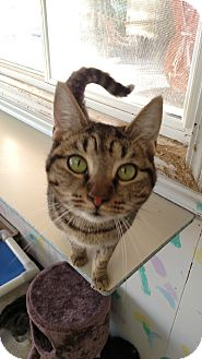 Domestic Shorthair Cat for adoption in Fremont, Ohio - Thelma