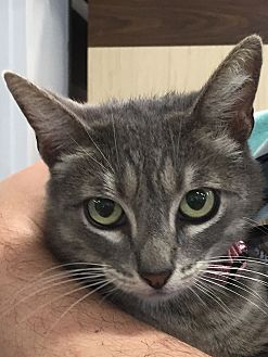 Domestic Shorthair Cat for adoption in Round Rock, Texas - Butterfly