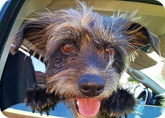 Standard Schnauzer Mix Dog for adoption in Plano, Texas - ROCKY