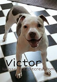 American Pit Bull Terrier/American Bulldog Mix Dog for adoption in Toledo, Ohio - Victor