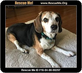 Beagle Dog for adoption in Lomita, California - Zoe