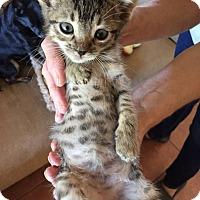Adopt A Pet :: Tadpole - Mission Viejo, CA
