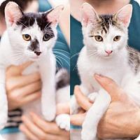 Adopt A Pet :: Lance & Jax, Sweet Li'l Bonded Brothers - Brooklyn, NY