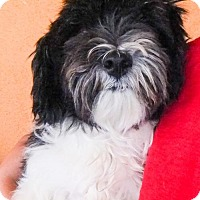Shih Tzu/Poodle (Miniature) Mix Dog for adoption in Moreno Valley, California - 20160730A
