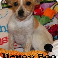 Adopt A Pet :: Honey Bee - Ringwood, NJ