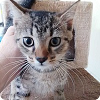 Domestic Shorthair Cat for adoption in Dickson, Tennessee - Bash