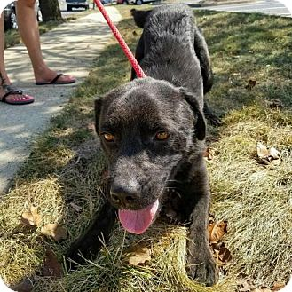 Retriever (Unknown Type) Mix Dog for adoption in Arlington, Virginia - Max - ADOPTION PENDING!!