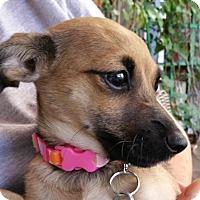 Adopt A Pet :: Cherry 'CHI-WEENIE' puppy - Los Angeles, CA