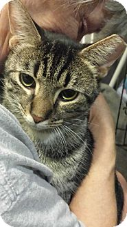 Domestic Shorthair Cat for adoption in Stafford, Virginia - Rafiki