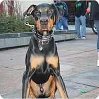 Doberman Pinscher Dog for adoption in Minneapolis, Minnesota - Beau
