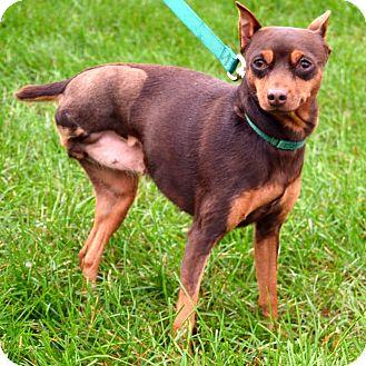 Miniature Pinscher Mix Dog for adoption in Wheaton, Illinois - Mimi
