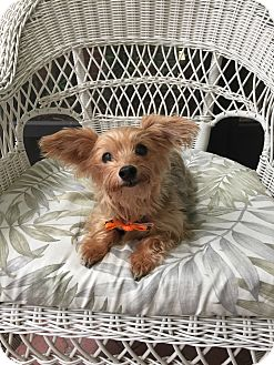 Yorkie, Yorkshire Terrier Dog for adoption in Leesburg, Florida - Precious