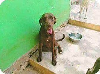 Plott Hound/Labrador Retriever Mix Dog for adoption in St. Catharines, Ontario - Tatty