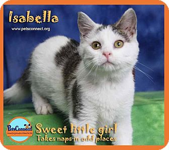 Domestic Shorthair Kitten for adoption in South Bend, Indiana - Isabella