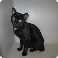 Domestic Shorthair Cat for adoption in Cumming, Georgia - Abigail