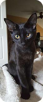 Domestic Shorthair Kitten for adoption in Naperville, Illinois - Wolfie-5 MONTHS