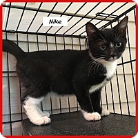 Domestic Shorthair Cat for adoption in Miami, Florida - Nike