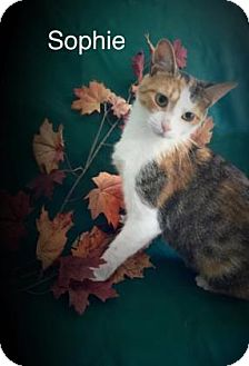 Domestic Shorthair Cat for adoption in Melbourne, Kentucky - Sophie