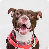Adopt A Pet :: Bailey - Lockport, NY