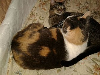 Domestic Shorthair Cat for adoption in wayne, Michigan - URGENT - Licking