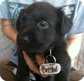 Labrador Retriever/Australian Cattle Dog Mix Puppy for adoption in Phoenix, Arizona - Bristol