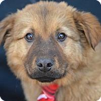 Adopt A Pet :: George Clooney - Plano, TX