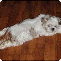 Adopt A Pet :: Chi - Seymour, CT