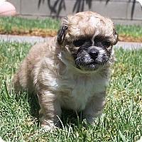 Adopt A Pet :: Rachel - La Habra Heights, CA